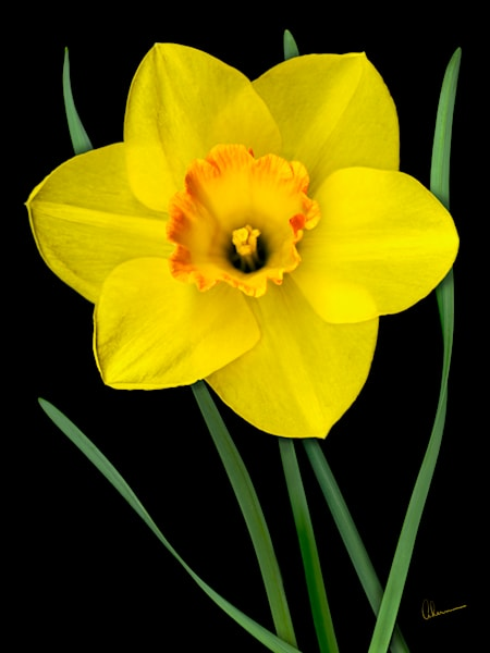 Single Yellow Daffodil metal wall art. Designer Aluminum Prints by the artist, Mary Ahern.