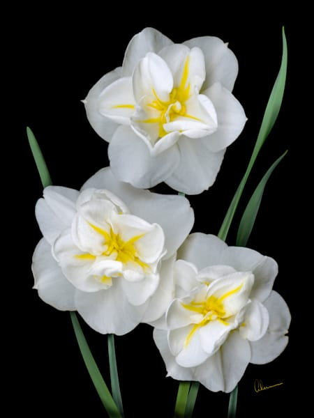 White Daffodil Trio metal wall art. Designer Aluminum Prints by the artist, Mary Ahern.