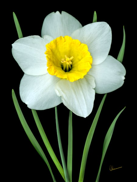 Single White Daffodil metal wall art. Designer Aluminum Prints by the artist, Mary Ahern.