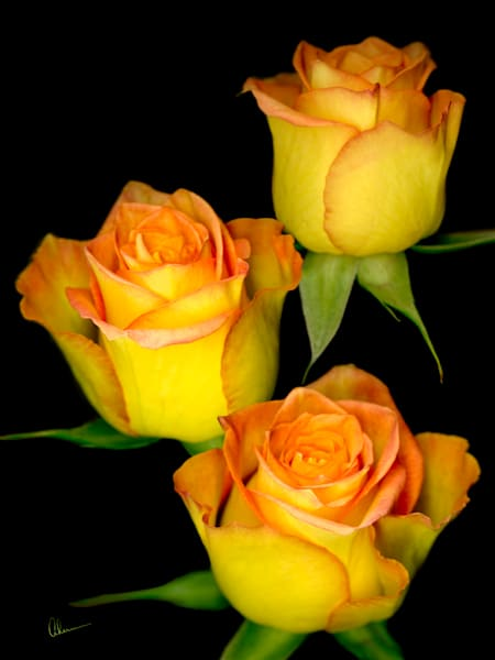 Triple Yellow Roses-Metal