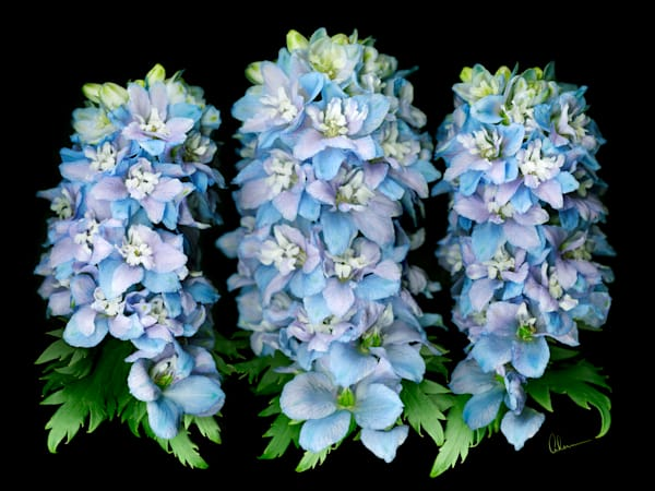Delphinium Trio metal wall art. Designer Aluminum Prints by the artist, Mary Ahern.