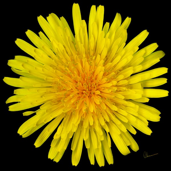 Dandelion Flower Squared metal wall art. Aluminum prints of original paintings by the artist, Mary Ahern.