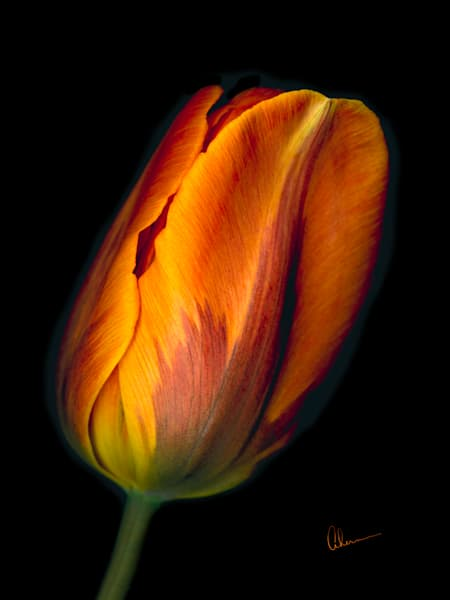 Conversation-Orange Tulip 1 metal wall art. Designer Aluminum Prints by the artist, Mary Ahern.