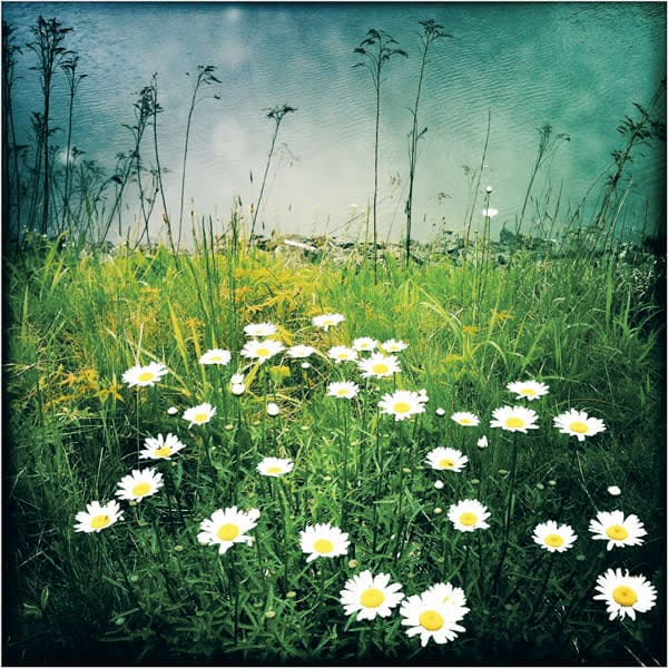 Waterside Daisies Photo Tile - for sale as 4x4 and 6x6-inch ceramic tiles