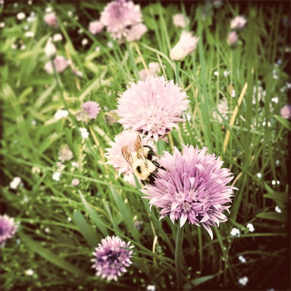 Chive Blossoms with Bumblebee Photo Tile - for sale as 4x4 and 6x6-inch ceramic tiles