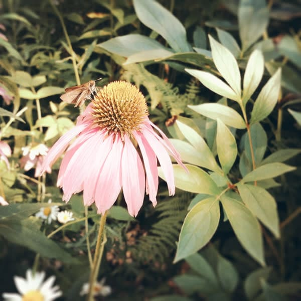 Pink Cone Flower Photo Tile - for sale as 4x4 and 6x6-inch ceramic tiles