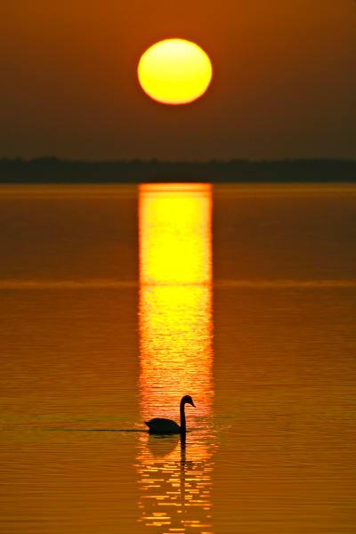 Tundra Swan | Robbie George Photography