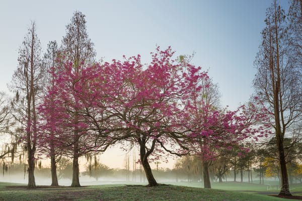 Pink Trumpet Tree of Buckhorn