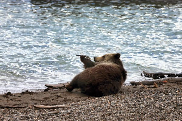 Grizzly Bear Fine Art Photography Prints | Robbie George