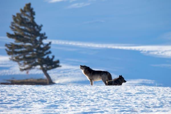 Wild Wolf | Robbie George Photography