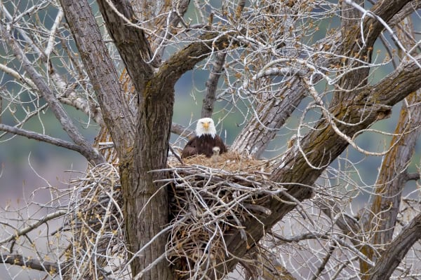 Bald Eagle Nest | Robbie George Photography