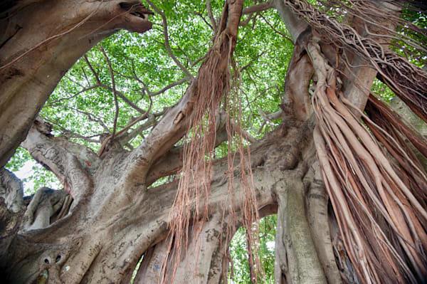 Banyan Tree III