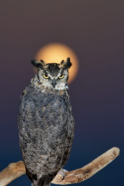 Owl | Robbie George Photography