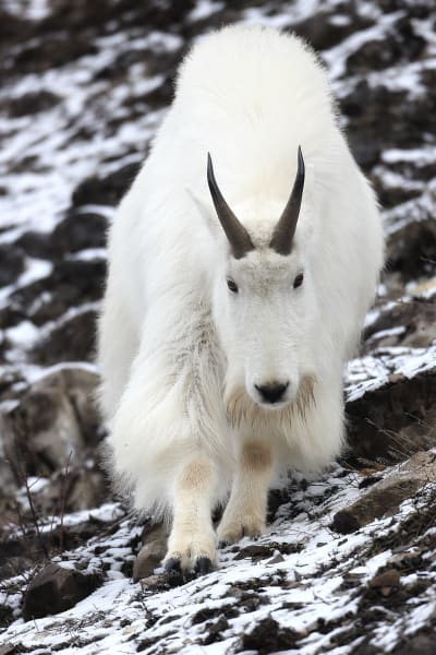 Mountain Goat Wildlife Photography Prints | Robbie George
