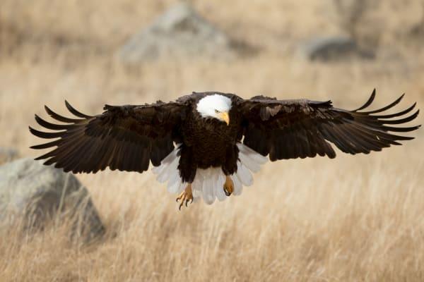 American Bald Eagle | Robbie George Photography