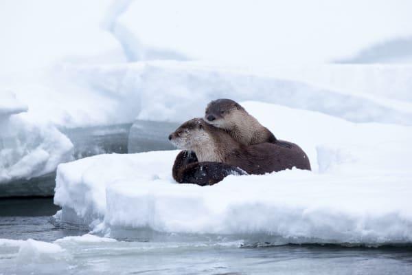 Otter Wildlife Photography Prints | Robbie George