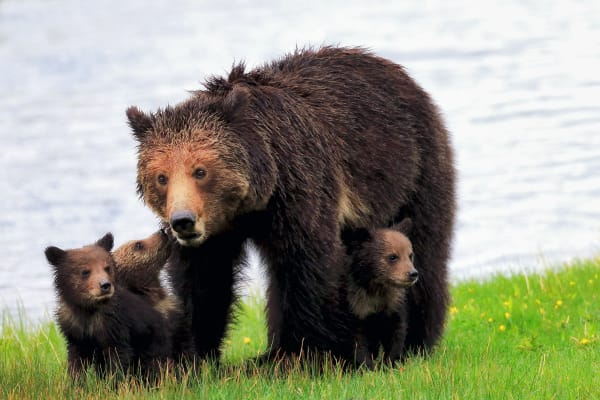 Grizzly Bear With Cubs | Robbie George Photography