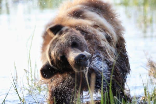 Grizzly Bear Wildlife Wall Art | Robbie George Photography