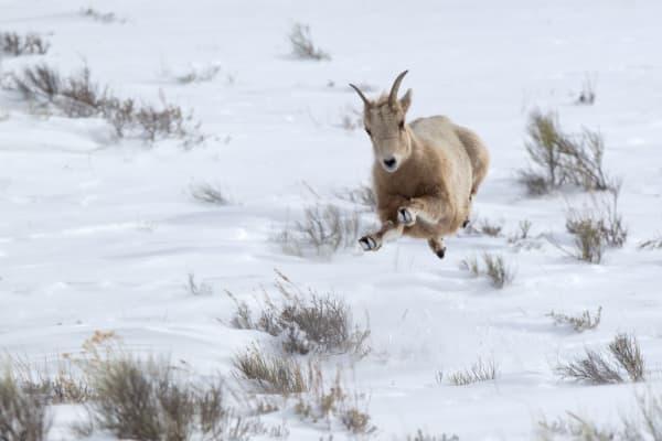 Female Bighorn Sheep | Robbie George Photography