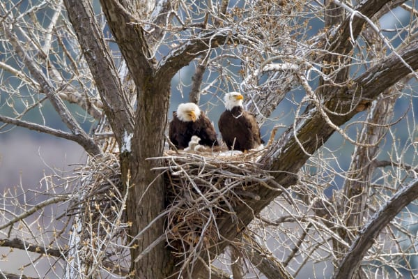 Nesting Bald Eagle | Robbie George Photography