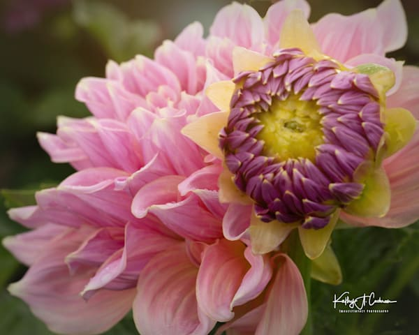 Dahlia  6437 Photography Art by Images2Impact