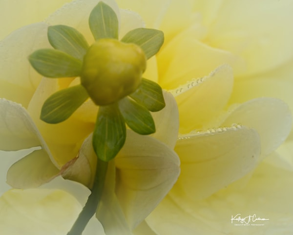 Dahlia  6533 Photography Art by Images2Impact