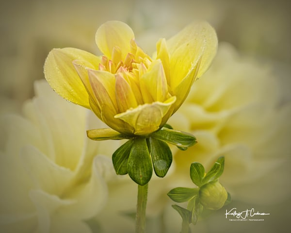 Dahlia  6553 Photography Art by Images2Impact