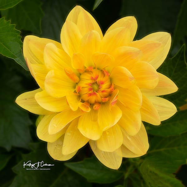 Dahlia  6653 Photography Art by Images2Impact