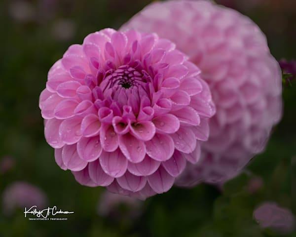 Dahlia  6667 Photography Art | Images2Impact