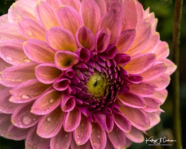 Dahlia  6638 Photography Art by Images2Impact
