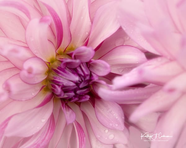 Dahlia  6681 Photography Art by Images2Impact