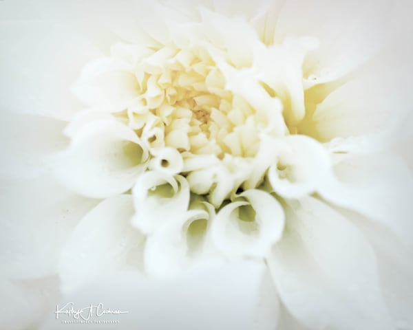 Dahlia  6686 Photography Art by Images2Impact