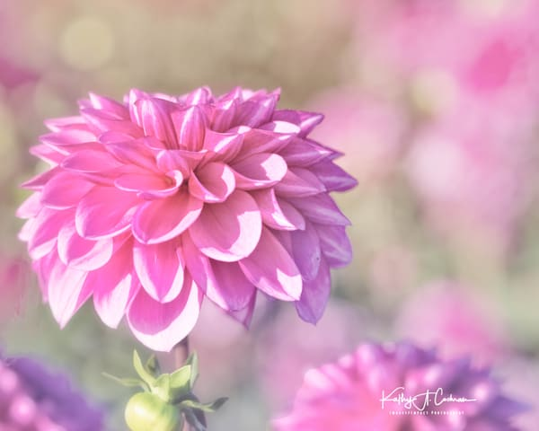 Dahlia  5027 Photography Art by Images2Impact
