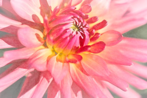 Dahlia  5050 Photography Art | Images2Impact