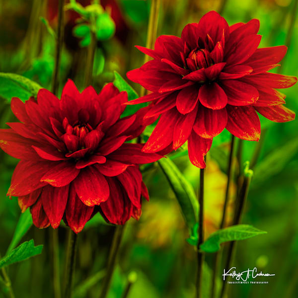 Dahlia  5223 Photography Art by Images2Impact