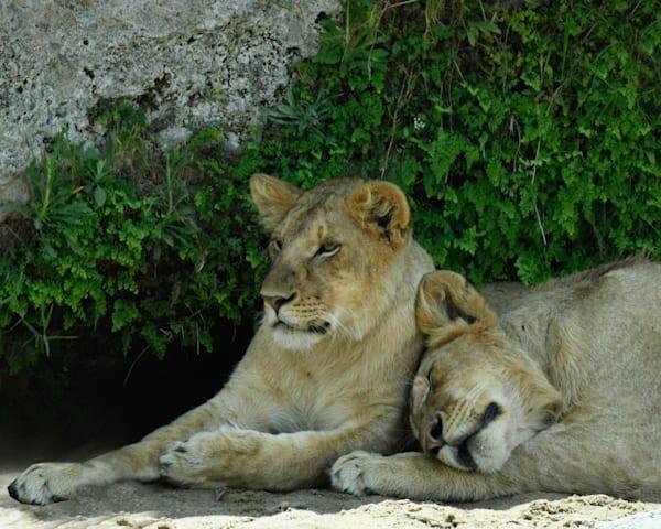 Kenya Lions   6 Photography Art | Images2Impact