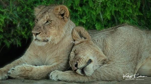 Kenya Lions   5 Photography Art | Images2Impact