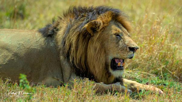 Kenya Lions   3 Photography Art | Images2Impact