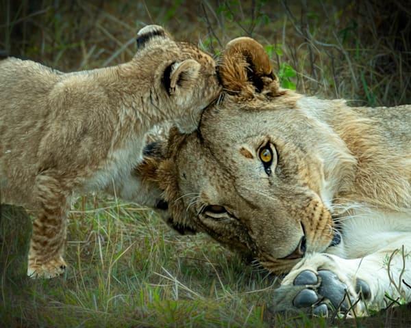 Kenya Lions   12 Photography Art | Images2Impact