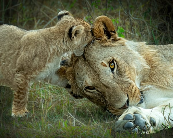 Kenya Lions   13 Photography Art | Images2Impact