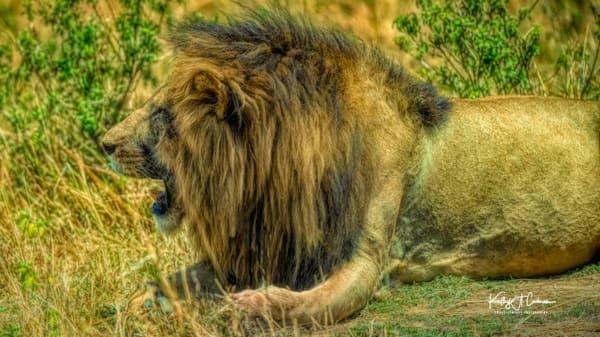 Kenya Lions  6477 Photography Art | Images2Impact