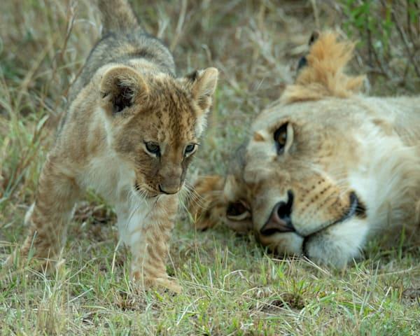 Kenya Lions  7339 Photography Art | Images2Impact