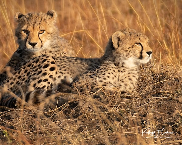 Kenya Cheetah-0721
