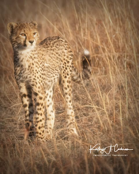 Kenya Cheetah-0730