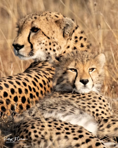 Kenya Cheetah-0916