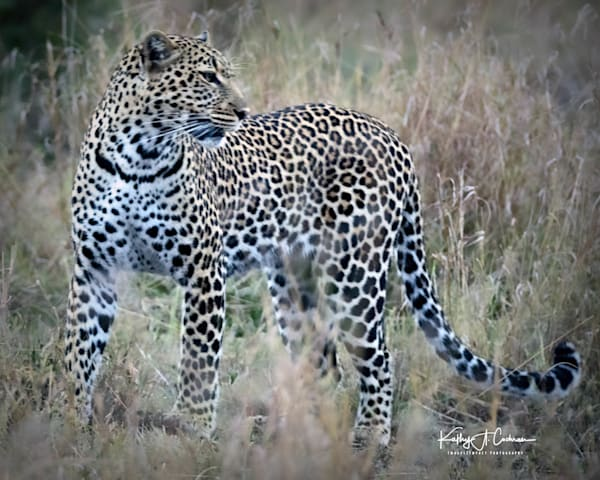 Kenya Cheetah 2241 Photography Art | Images2Impact