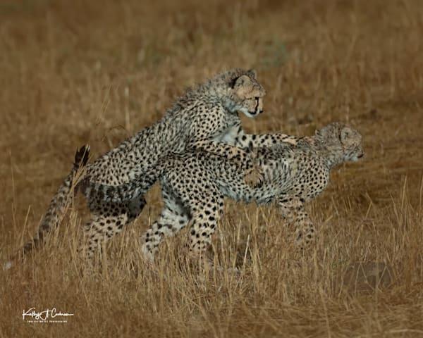 Kenya Cheetah 2901 Photography Art   Images2Impact
