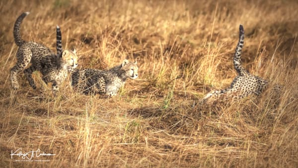 Kenya Cheetah 2927 Photography Art | Images2Impact