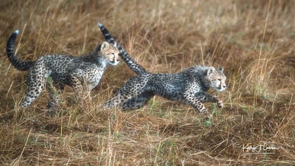 Kenya Cheetah 2928 Photography Art   Images2Impact