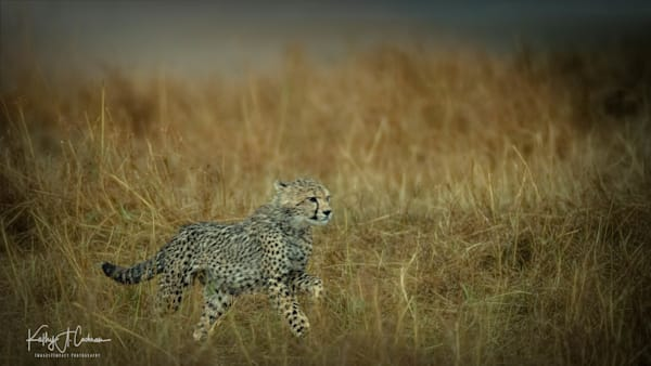 Kenya Cheetah 2982 Photography Art   Images2Impact